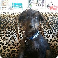 Adopt A Pet :: Louie - Valencia, CA