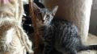 Domestic Shorthair Cat for adoption in Shelbyville, Kentucky - Rambler