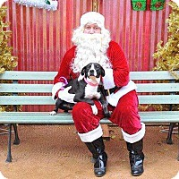 Adopt A Pet :: Jingle - Allen, TX