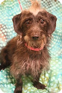 Dachshund/Poodle (Miniature) Mix Dog for adoption in Allentown, Virginia - Copper