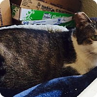 Domestic Shorthair Cat for adoption in Los Angeles, California - Fiona