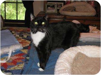 "Manx Cat for adoption in Fairhope, Alabama - Little ""B"""