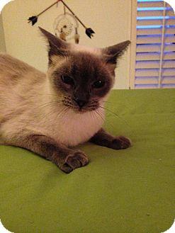 Siamese Cat for adoption in Fountain Hills, Arizona - SPARKLE