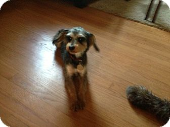 Yorkie, Yorkshire Terrier/Poodle (Miniature) Mix Dog for adoption in Antioch, Illinois - Star