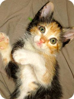 Calico Kitten for adoption in Escondido, California - Blanche