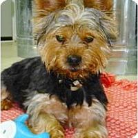 Adopt A Pet :: SARGE - Wakefield, RI