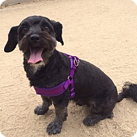 Adopt A Pet :: Tippy - Los Angeles, CA