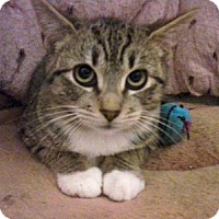 Domestic Shorthair Cat for adoption in Queens, New York - Francis