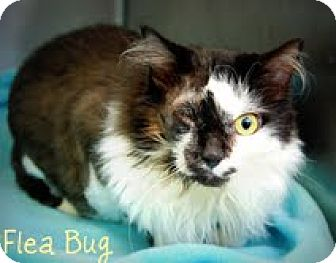 Himalayan Cat for adoption in Oceanside, California - Flea