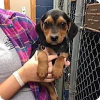 Adopt A Pet :: Taylor - Cashiers, NC