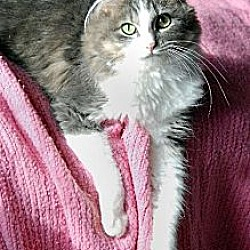 Photo 4 - Domestic Longhair Cat for adoption in Seal Beach, California - Jenny Any Dots