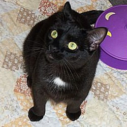 Photo 3 - Domestic Shorthair Kitten for adoption in Silver Lake, Wisconsin - Lizzy