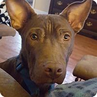 Adopt A Pet :: Choco - PORTLAND, ME