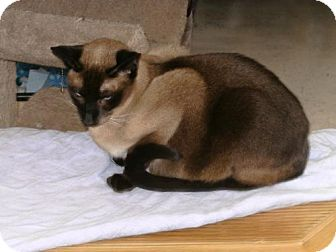 Siamese Cat for adoption in Sparta, Wisconsin - Starr
