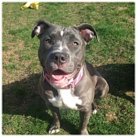 Adopt A Pet :: Shelby - Newtown, CT