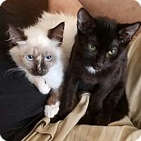 Adopt A Pet :: Duke LOVING KITTEN PAIR!!! - Burbank, CA