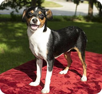 Jack Russell Terrier/Rat Terrier Mix Dog for adoption in Alvin, Texas - Addy dainty loving pup