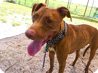 Greyhound Mix Dog for adoption in Tavares, Florida - KODA
