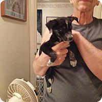 Australian Shepherd Puppy for adoption in Danbury, Connecticut - Apple