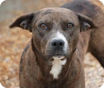 Terrier (Unknown Type, Medium)/Boxer Mix Dog for adoption in Hudson, New Hampshire - Fineena