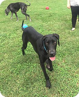 Great Dane Dog for adoption in Gallatin, Tennessee - Jack