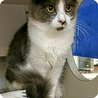 Adopt A Pet :: Velma - Shoreline, WA