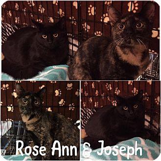 Domestic Shorthair Kitten for adoption in Blasdell, New York - Joseph