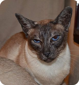 Siamese Cat for adoption in Davis, California - Lovie