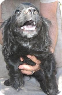Cocker Spaniel/Dachshund Mix Puppy for adoption in Phoenix, Arizona - Shelby