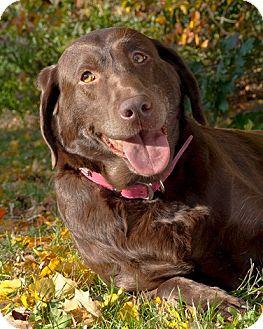 Labrador Retriever Mix Dog for adoption in Cambridge, Ontario - Daisy