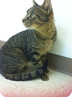 Domestic Shorthair Cat for adoption in Bensalem, Pennsylvania - Jeeter