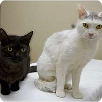 Adopt A Pet :: Brothers Puma and Snow Leopard - Chicago, IL