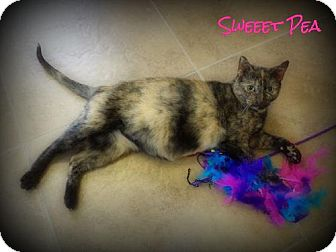 Domestic Shorthair Cat for adoption in Pekin, Illinois - Sweet Pea