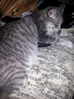 American Bobtail Cat for adoption in Liberty, North Carolina - Mona Lisa - NC