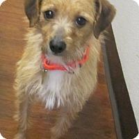 Adopt A Pet :: Kit Kat- PUPPYMILL RESCUE - Oak Ridge, NJ