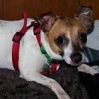 Chihuahua/Terrier (Unknown Type, Small) Mix Dog for adoption in Jacksonville, Florida - Milo