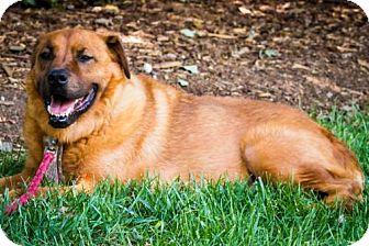 Labrador Retriever/Chow Chow Mix Dog for adoption in Matthews, North Carolina - Sugar Bear