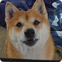Adopt A Pet :: Saya - Manassas, VA