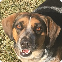 Beagle Mix Dog for adoption in Russellville, Kentucky - Boots