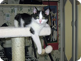 Domestic Shorthair Kitten for adoption in Brightwaters,, New York - Murphy