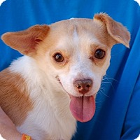 Chihuahua Mix Dog for adoption in Las Vegas, Nevada - Cashew