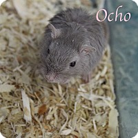 Adopt A Pet :: Ocho - Bradenton, FL