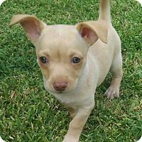 Adopt A Pet :: Sophie - La Habra Heights, CA