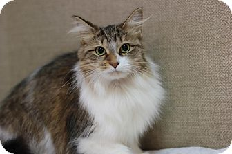 Domestic Longhair Cat for adoption in Midland, Michigan - Dandelion