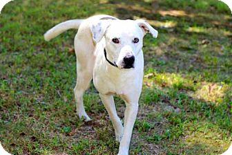 Labrador Retriever Mix Dog for adoption in Allentown, Pennsylvania - JONAH
