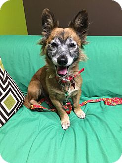 Corgi Mix Dog for adoption in Van Nuys, California - Angelica
