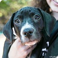 Adopt A Pet :: Runaround Sue - Atlanta, GA