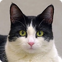Adopt A Pet :: Miss Kitty - Norwalk, CT