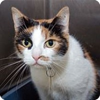 Calico Cat for adoption in Mountain Home, Arkansas - Melody