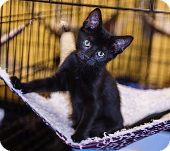 Domestic Shorthair Kitten for adoption in Mooresville, North Carolina - A..  Smoke
